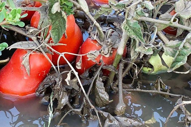 Piantagioni di pomodori dimezzate E in Lombardia torna il maltempo