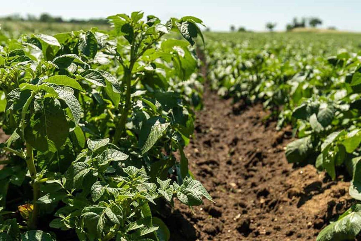 Le piantine. Per la semina si procede da metà febbraio al 15 maggio Patata dell'Alto Viterbese Igp Saporito interprete del territorio