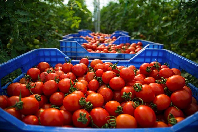 Pomodori - Niente gelata, i prezzi all'ingrosso dell'ortofrutta calano ma di poco