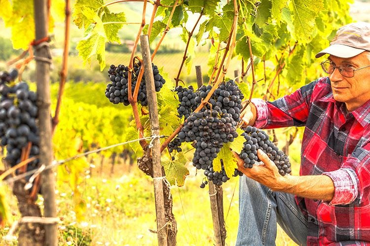 Produzione di vino e uva Business da 11,2 miliardi