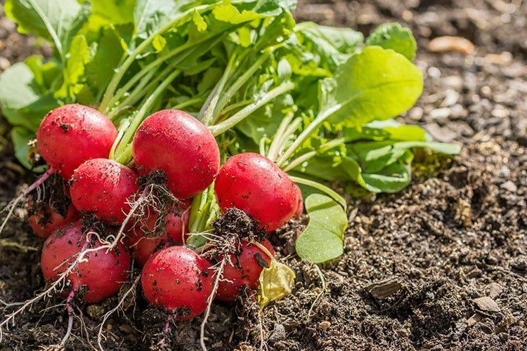 Ravanelli, uno dei prodotti di stagione commercializzati da Sipo Meloni, angurie e ravanelli L'estate si fa largo nell'ortofrutta
