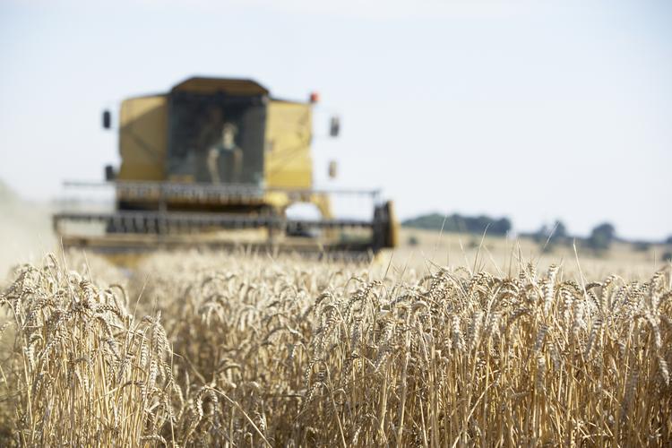 Dopo il sisma il primo raccolto di grano A Macerata centinaia di contadini