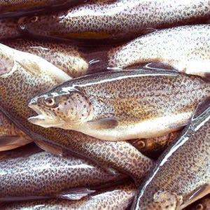 La trota lombarda sfida il sushi a erba avanzano i pesci d for Pesce pulitore acqua dolce fredda