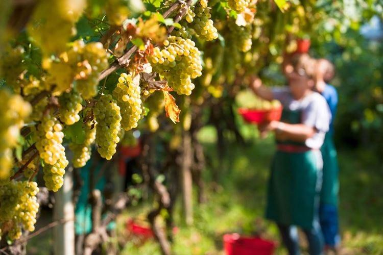 Vendemmia al via, Italia leader Ma il raccolto calerà del 10%