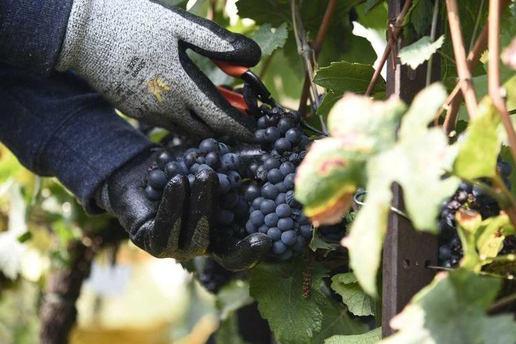 Vendemmia al via in Lombardia Primi grappoli in Franciacorta