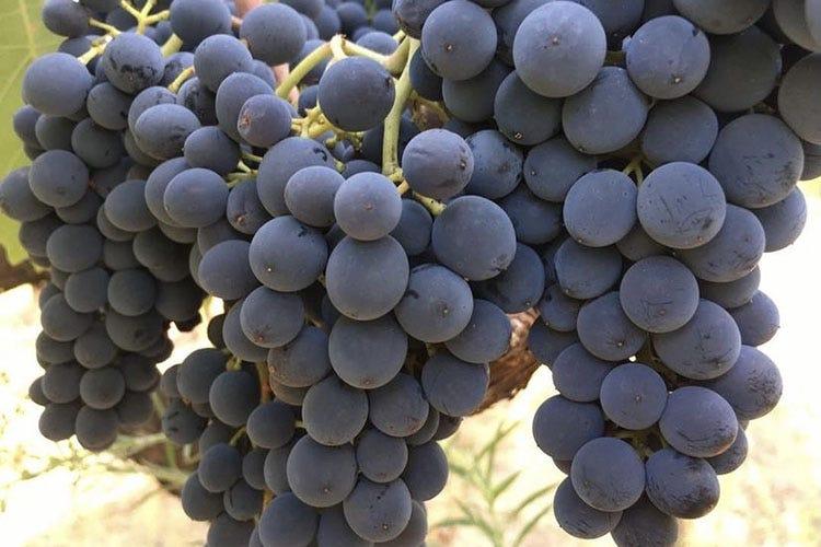 Si lavora sui vitigni che meglio esprimono la migliore tradizione enologica locale: Negramaro, Primitivo di Manduria e Fiano I quattro vini di Borrega L'incarnazione della Puglia