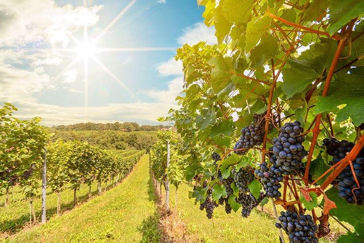 Il 2019 del vino veneto Calo del 25% rispetto al 2018