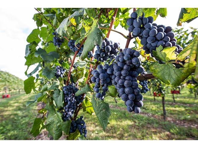 Friuli Venezia Giulia, terra di Pinot Nero Know-how e tradizioni base del successo