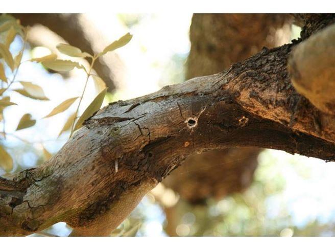 Xylella, albero infetto in quarantena per provare a fermare il batterio