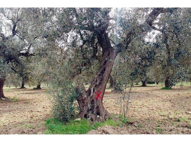 Xylella, la procura sequestra un albero Scoppia la protesta dei gilet arancioni