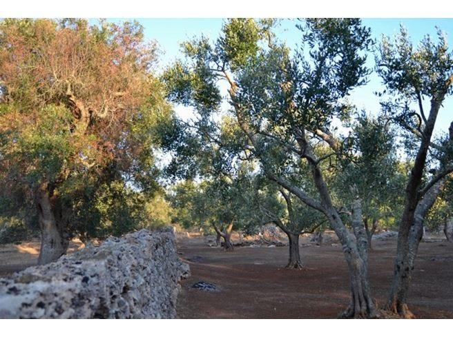 Xylella, produzione olive a -73% Scintille tra Lezzi e Centinaio