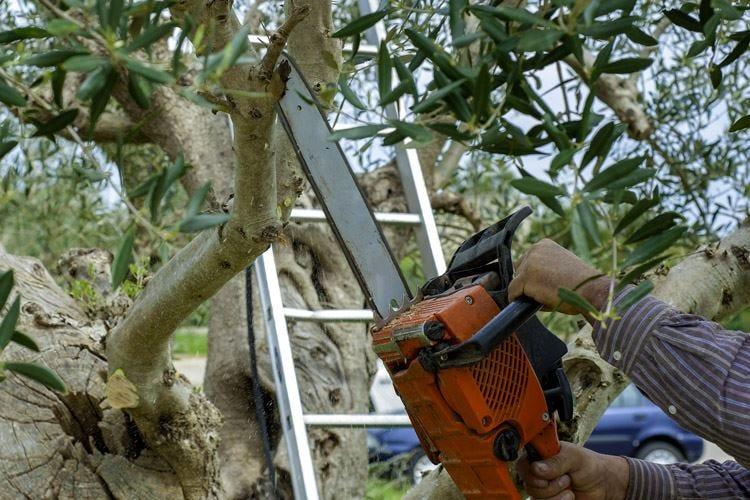 Xylella, tagliati i primi alberiConfagricoltura: Atto responsabile