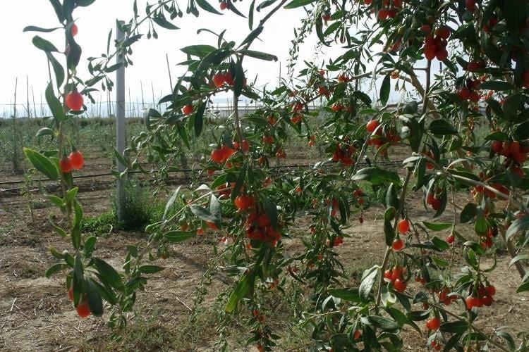 Da favella un offerta sostenibile e salutare le bacche di for Coltivazione goji